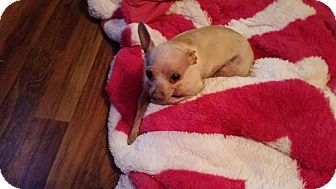 Chihuahua Dog for adoption in Pottstown, Pennsylvania - Lucy