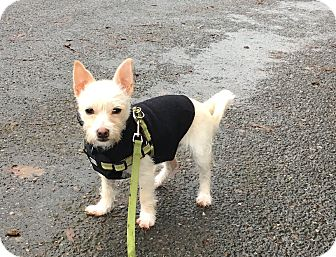 Cairn Terrier/Terrier (Unknown Type, Small) Mix Puppy for adoption in San Francisco, California - Zoe Bowie