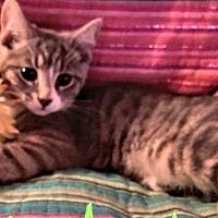 Domestic Shorthair Cat for adoption in Elizabethtown, Pennsylvania - Gabby