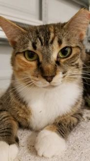 Domestic Shorthair/Domestic Shorthair Mix Cat for adoption in West Palm Beach, Florida - Peaches