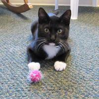 Adopt A Pet :: Mittens - Northfield, MN