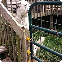 Adopt A Pet :: Gallo X - Nixa, MO
