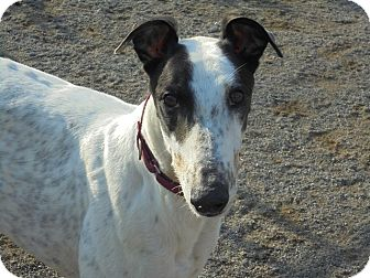 Greyhound Dog for adoption in Roanoke, Virginia - Lee
