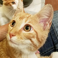 Adopt A Pet :: Layla - Jeannette, PA