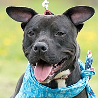 Pit Bull Terrier Mix Dog for adoption in Hillsboro, New Hampshire - Mac
