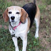 Adopt A Pet :: Lacey Lou - Stafford, VA