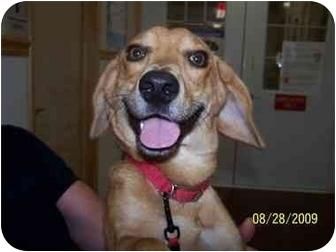 Dachshund/Beagle Mix Dog for adoption in Shelbyville, Kentucky - Leonard