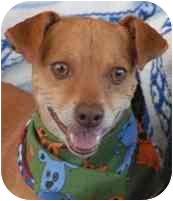 Chihuahua Dog for adoption in Las Vegas, Nevada - Lenny