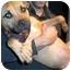 Photo 2 - Rhodesian Ridgeback/American Bulldog Mix Puppy for adoption in Burbank, California - LULU