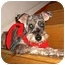 Photo 2 - Schnauzer (Miniature) Dog for adoption in Redondo Beach, California - Maggie