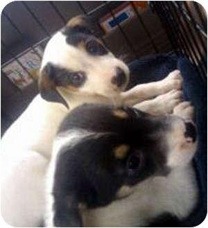 Australian Shepherd/Border Collie Mix Puppy for adoption in Largo, Florida - Bandit (Aussie Mix)