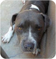 American Staffordshire Terrier Mix Dog for adoption in Gaffney, South Carolina - Clinique