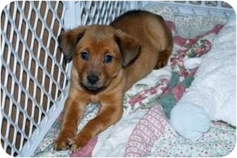 Shepherd (Unknown Type) Mix Puppy for adoption in Minneola, Florida - Charlotte