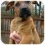 Photo 1 - Boxer/Labrador Retriever Mix Puppy for adoption in Westport, Connecticut - *Laila - PENDING