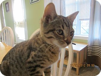 Domestic Shorthair Kitten for adoption in Bunnell, Florida - Booger