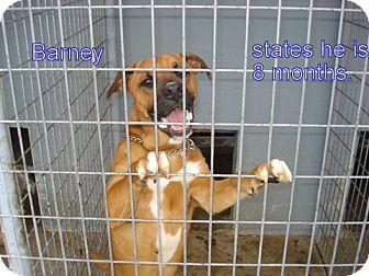 Boxer/Labrador Retriever Mix Dog for adoption in Windsor, Missouri - Barney Pal