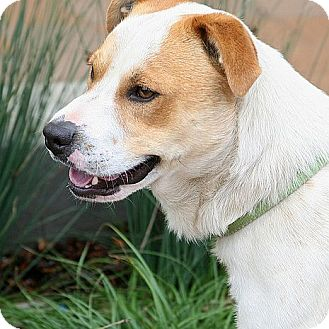 Australian Cattle Dog Mix Puppy for adoption in Berkeley, California - Ralph