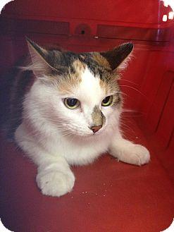 Domestic Shorthair Cat for adoption in Ogden, Utah - Miley