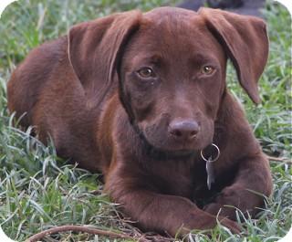 Labrador Retriever/Basset Hound Mix Dog for adoption in Norwalk, Connecticut - Yahoo - adoption pending