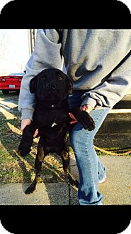 Labrador Retriever Mix Puppy for adoption in Salem, Massachusetts - Bexlee