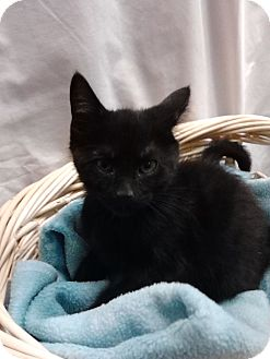 Domestic Shorthair Kitten for adoption in Ogden, Utah - Chocolat