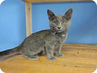 Domestic Shorthair Kitten for adoption in Brookings, South Dakota - Cornflower