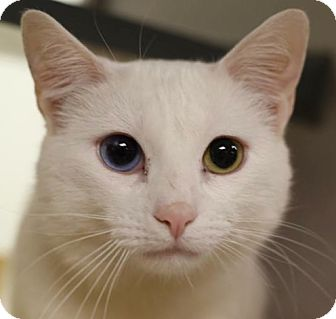 Domestic Shorthair Cat for adoption in Walden, New York - Snowball