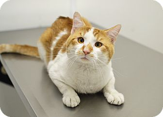 Domestic Shorthair Cat for adoption in Springfield, Illinois - Kermit