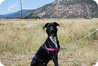 Labrador Retriever/Border Collie Mix Dog for adoption in Ridgway, Colorado - Conan
