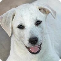 Adopt A Pet :: *Sassafrass - PENDING - Westport, CT