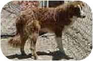Border Collie Dog for adoption in Phelan, California - BEAR
