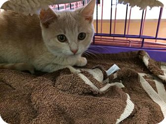 Domestic Shorthair Kitten for adoption in Wilmore, Kentucky - Patsy Cline