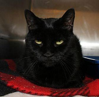 Domestic Shorthair Cat for adoption in Hilton Head, South Carolina - Ferris