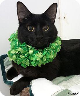 Domestic Mediumhair Cat for adoption in Key Largo, Florida - Simba