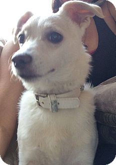 Jack Russell Terrier/Chihuahua Mix Dog for adoption in Mesa, Arizona - Susie Q