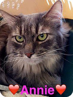 American Shorthair Cat for adoption in Scottsdale, Arizona - Annie