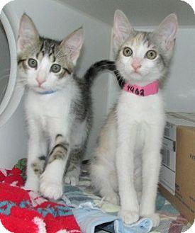 Domestic Shorthair Kitten for adoption in Aiken, South Carolina - MUTE