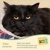 Domestic Longhair Cat for adoption in Santa Paula, California - Toro