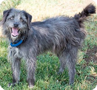 Schnauzer (Miniature)/Terrier (Unknown Type, Small) Mix Dog for adoption in Patterson, California - Mandy
