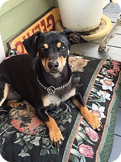 Chihuahua/Dachshund Mix Dog for adoption in Victoria, Texas - Shorty