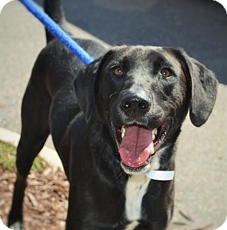 Labrador Retriever Mix Dog for adoption in Wilmington, North Carolina - Jake