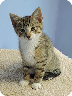 Domestic Shorthair Kitten for adoption in Brookings, South Dakota - Michael Kors