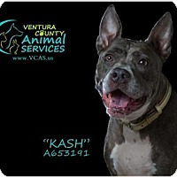 Staffordshire Bull Terrier Mix Dog for adoption in Camarillo, California - KASH