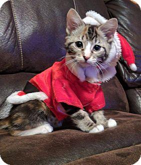 Domestic Shorthair Kitten for adoption in Irwin, Pennsylvania - Rosebud