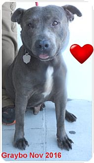 American Pit Bull Terrier Dog for adoption in Pensacola, Florida - Graybo