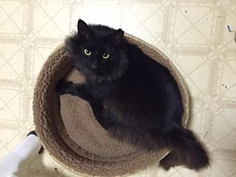 Domestic Mediumhair Cat for adoption in Fairfax Station, Virginia - Buster II