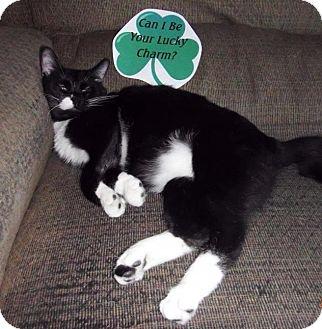 American Shorthair Cat for adoption in Greensburg, Pennsylvania - Spot