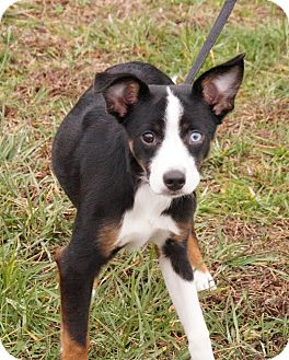 Chihuahua/Miniature Pinscher Mix Dog for adoption in Maynardville, Tennessee - Zoey