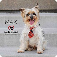 Adopt A Pet :: Max (Silky Terrier mix) - Council Bluffs, IA