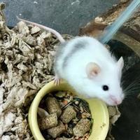 Adopt A Pet :: Pecan - Annapolis, MD